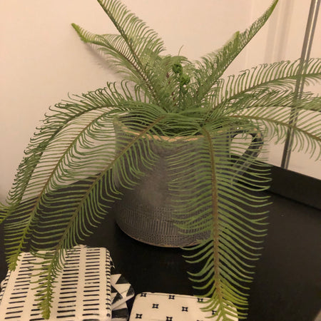 Parlane Potted Feather Fern