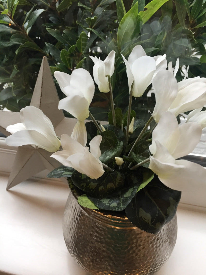 White Cyclamen in pot