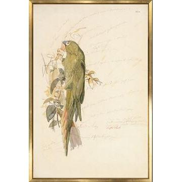Blue Crowned Parakeet Historical Watercolour Sketch - Home Smith