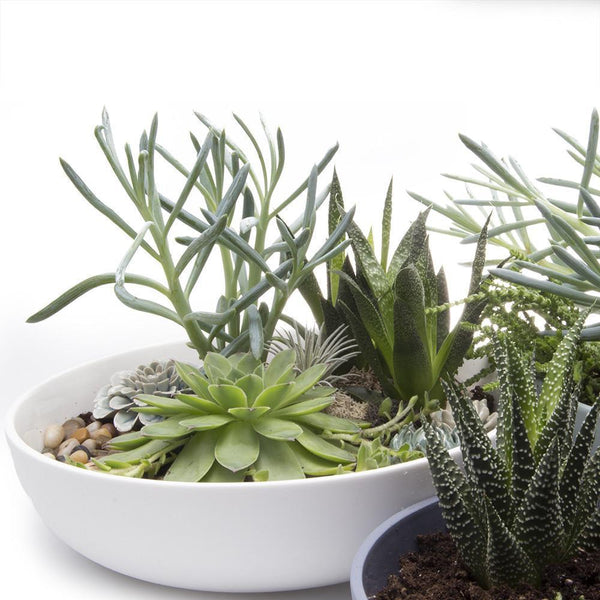 Moog Succulent Dish-Chive-Home Smith