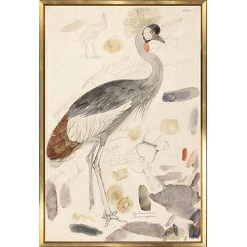 South African Crowned Crane Historical Watercolour Sketch - Home Smith