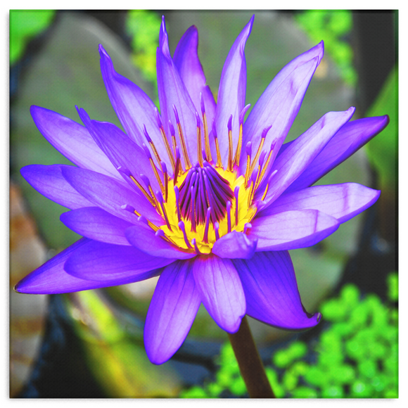 Purple & Yellow Lotus Flower Canvas Wall Art - Square - 4 Sizes