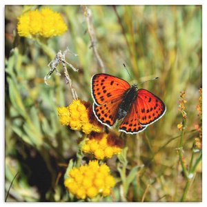 Brilliant Orange Butterfly on Yellow Flowers Canvas Wall Art in 4 Sizes; 8x8, 16x16, 24x24, 40x40 - Mind Body Spirit