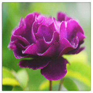 Purple Flower In Spring Garden Canvas Wall Art - Square - 4 Sizes