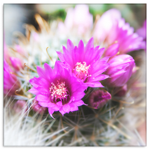 Vibrant Pink Cactus Flower Canvas Wall Art in 4 Sizes; 8x8, 16x16, 24x24, 40x40 - Mind Body Spirit