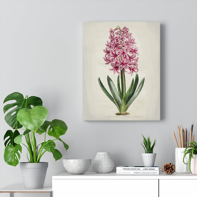 Botanical Engraving Pink Hyacinth Thomas Curtis 1806 Print Canvas Wall Art Gallery Wrap 3 Sizes