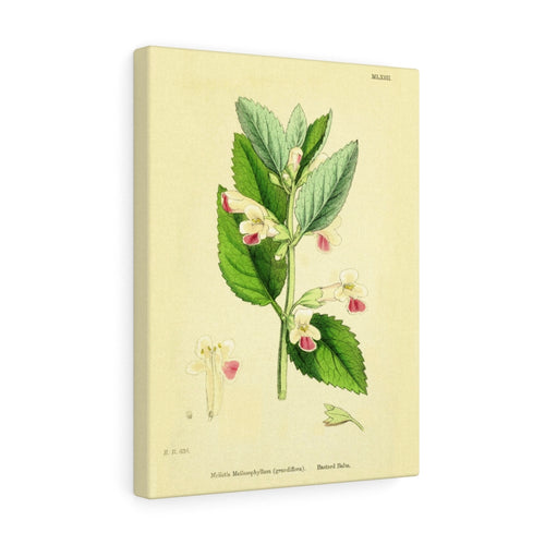 Melittis 'Bastard Balm' English Botanical 1800's Premium Canvas Wall Art Gallery Wrap 3 Sizes