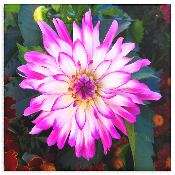 White Dahlia with Purple Edges Canvas Wall Art - Square - 4 Sizes - Mind Body Spirit