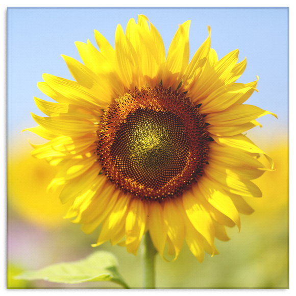 Morning Sunflower Canvas Wall Art - Square - 4 Sizes