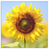 Morning Sunflower Canvas Wall Art - Square - 4 Sizes - Mind Body Spirit