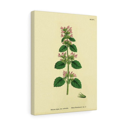 Black Horehound English Botanical 1800's Print Premium Canvas Wall Art Gallery Wrap 3 Sizes