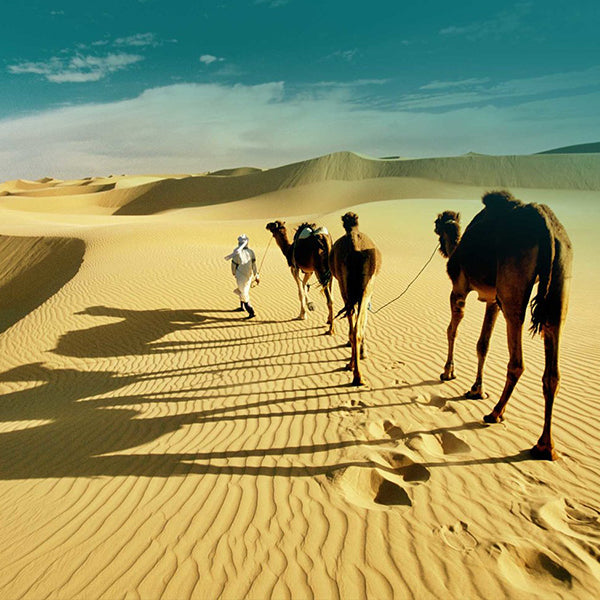 the camels in Sahara Desert