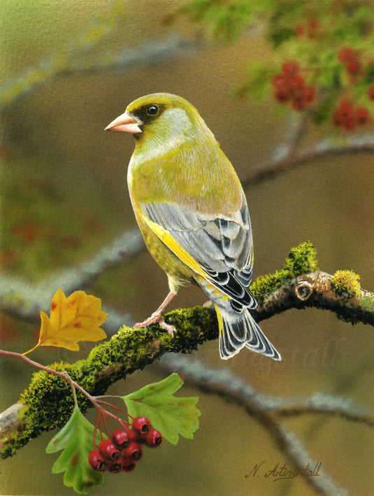 Nigel Artingstall 'Greenfinch' gouache on watercolour board 25x15cm