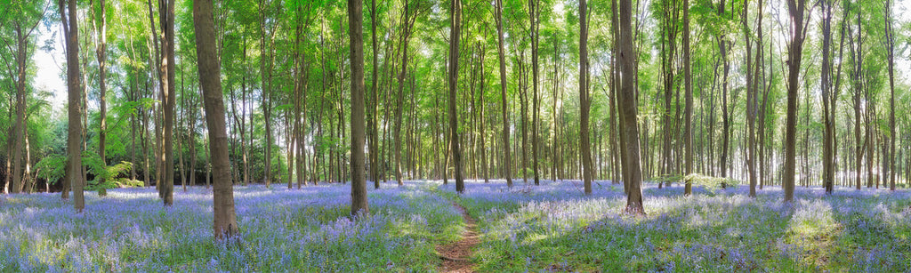 Panoramic view of bluebell wood photograph by David Hall at Iona House Gallery