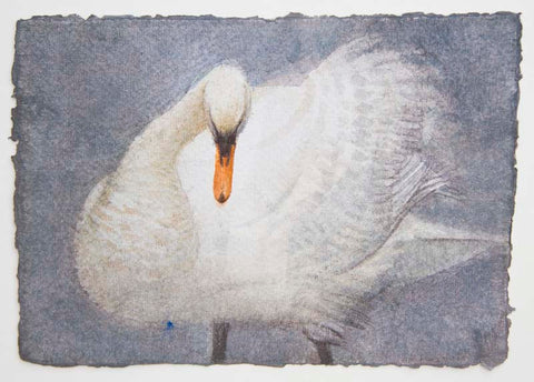 Claire Harkess 'Mute Swan III' watercolour 15x21cm