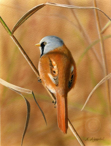 Nigel Artingstall 'Bearded Tit' gouache on watercolour board 25x15cm