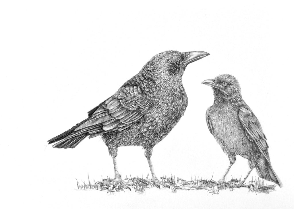 Crows drawing by Sue Side at Iona House Gallery