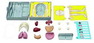 4M Human Torso Anatomy Kit