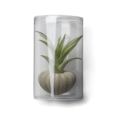 Rosette Tillandsia Sea Urchin Gift Set