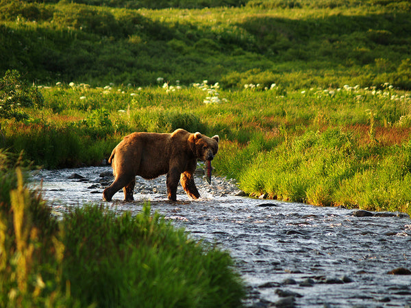 Biologist studies Alaskan brown bears