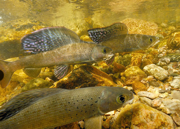 Arctic grayling make strong return in Montana