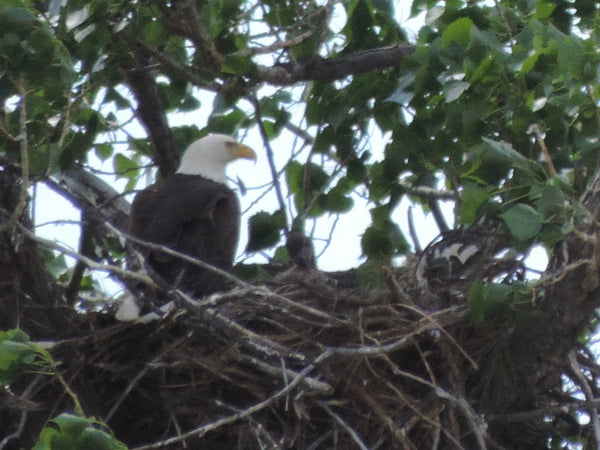 Bald eagles nesting on Upper Missouri River Breaks