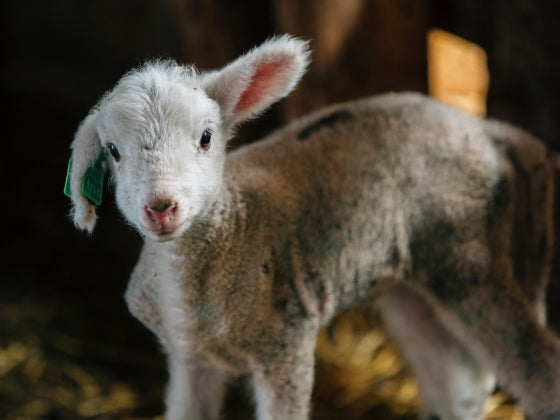 Lambing season full of surprises