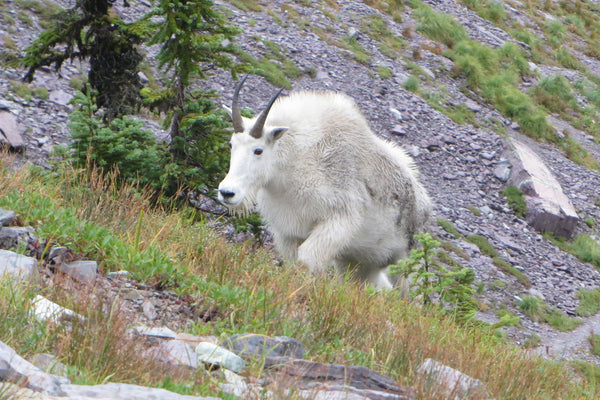 Citizen scientists help with mountain goat studies