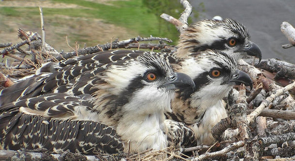 Osprey and river health: an interaction