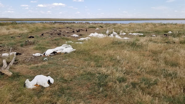 Hailstorm pummels waterfowl