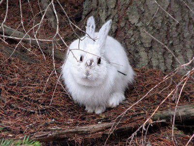 How climate change affects rabbits
