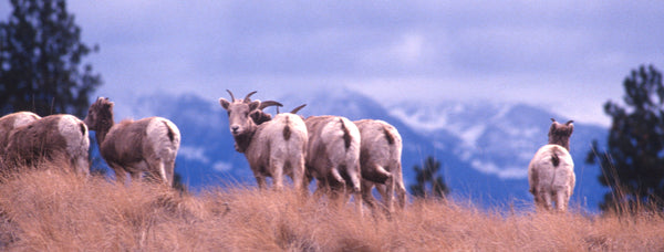 The Sheep of Wildhorse Island