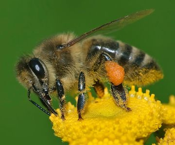 Apis_mellifera_Western_honey_bee montana living amy grisak