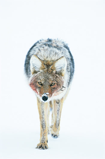 coyote by jan wassink