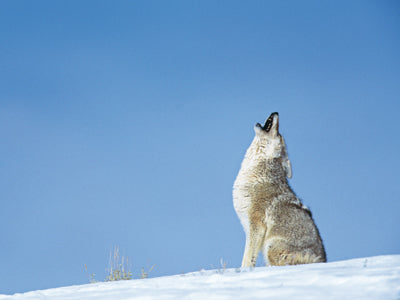 coyote howling by jan wassink
