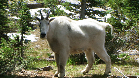 glacier national park mountain goat mount brown