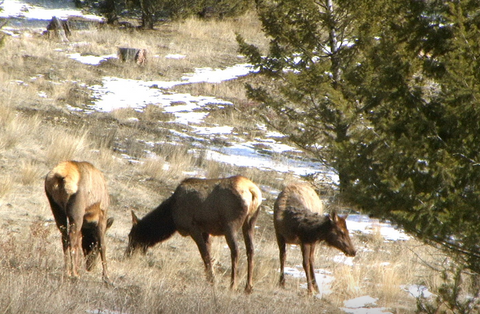 montana living, montana fish wildlife and parks special permit deadline, hunting elk