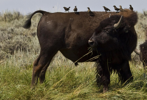 bison, american prairie reserve donates bison to montana food bank network, montana living