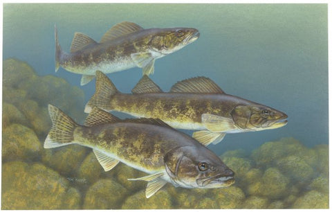walleye fish illegal in swan lake, montana, montana living
