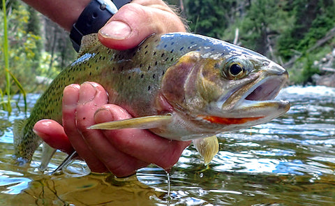 native montana west slope cutthroat trout, montana fish, wildlife and parks swan river, montana living