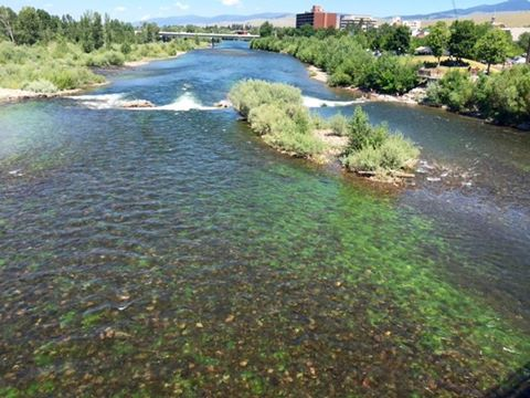 algae  in Clark Fork River in Missoula