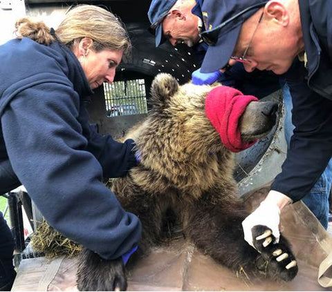biologists with grizzly bear near whitefish, montana, montana living, living with bears