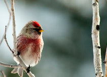 montana audubon christmas bird count, montana living, montana wildlife, montana birds