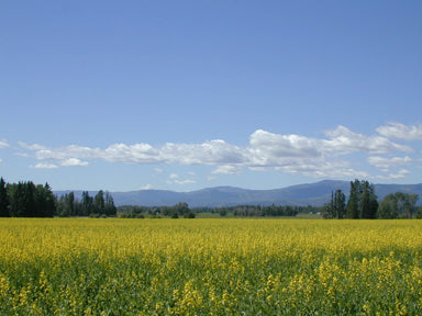 CANOLA FIELD  IN creston, montana photo by david Reese