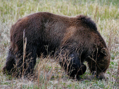 grizzly bear flyfishing yellowstone national park, montana living