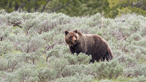 grizzly bear montana living 5/31/17
