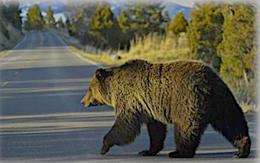 grizzly bear crossing road, 2020 montana grizzly bear study, montana living