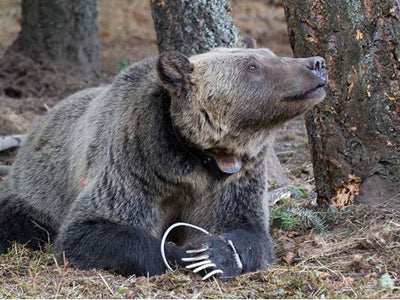 A trapped grizzly bear