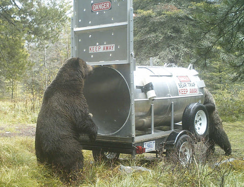 A grizzly bear at a trap in Glacier  National  Park