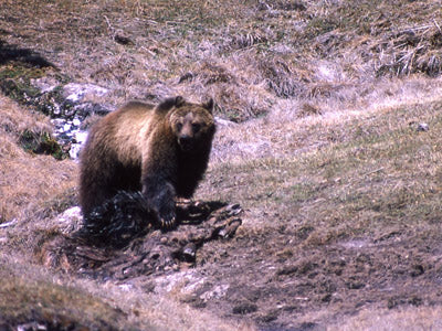grizzly on elk carcass yellowstone